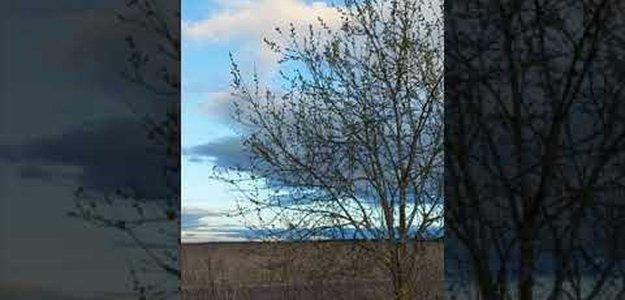 Расцвела молодая ива в поле, апрель
