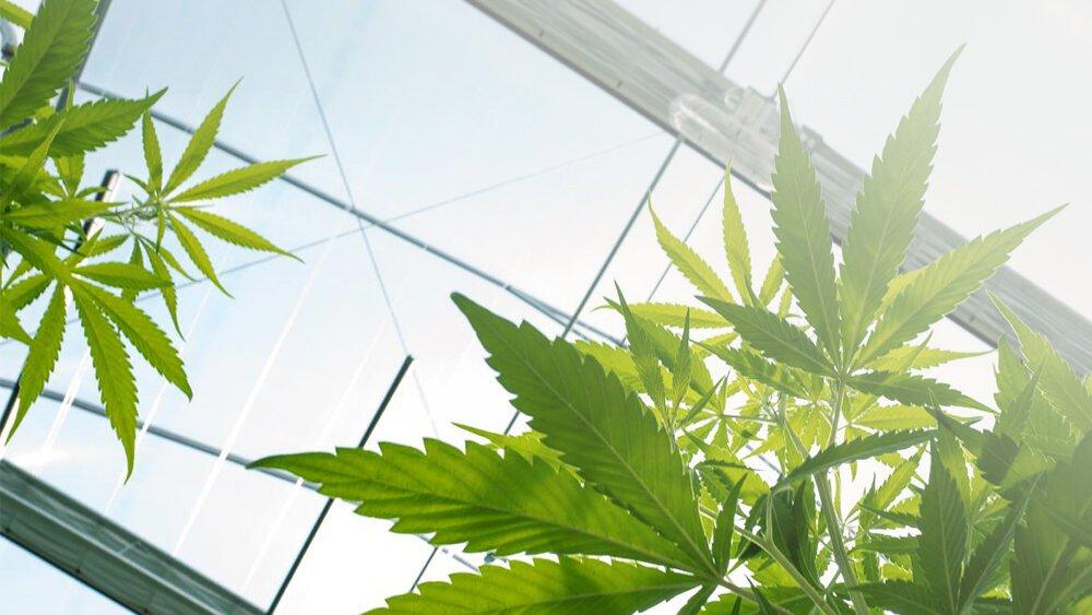 Болезнь паркинсона марихуана выращивание марихуаны в парниках